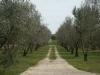 Il nostro viale con gli olivi