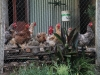 I nostri polli ruspanti
